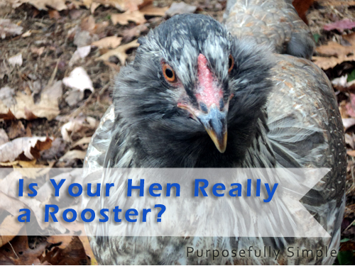 How to Tell a Rooster From a Hen