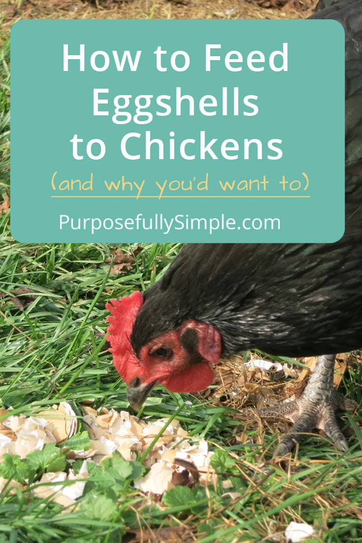 How-to-feed-eggshells-to-chickens-pS