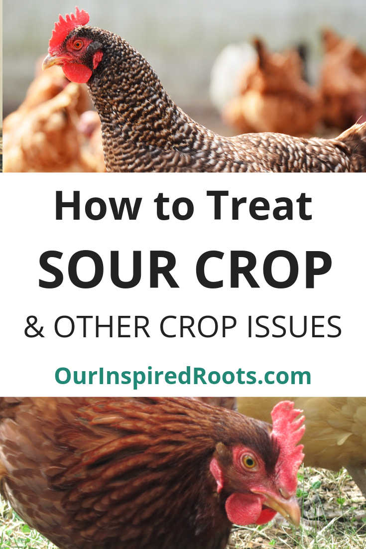 Is your chicken acting sick with a large crop? She may have sour crop or impacted crop. She may also get pendulous crop from it. Find out how I treat it naturally. #chickens #naturalhomestead #homesteading