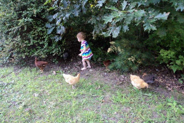 OG-chickens-edge-of-yard