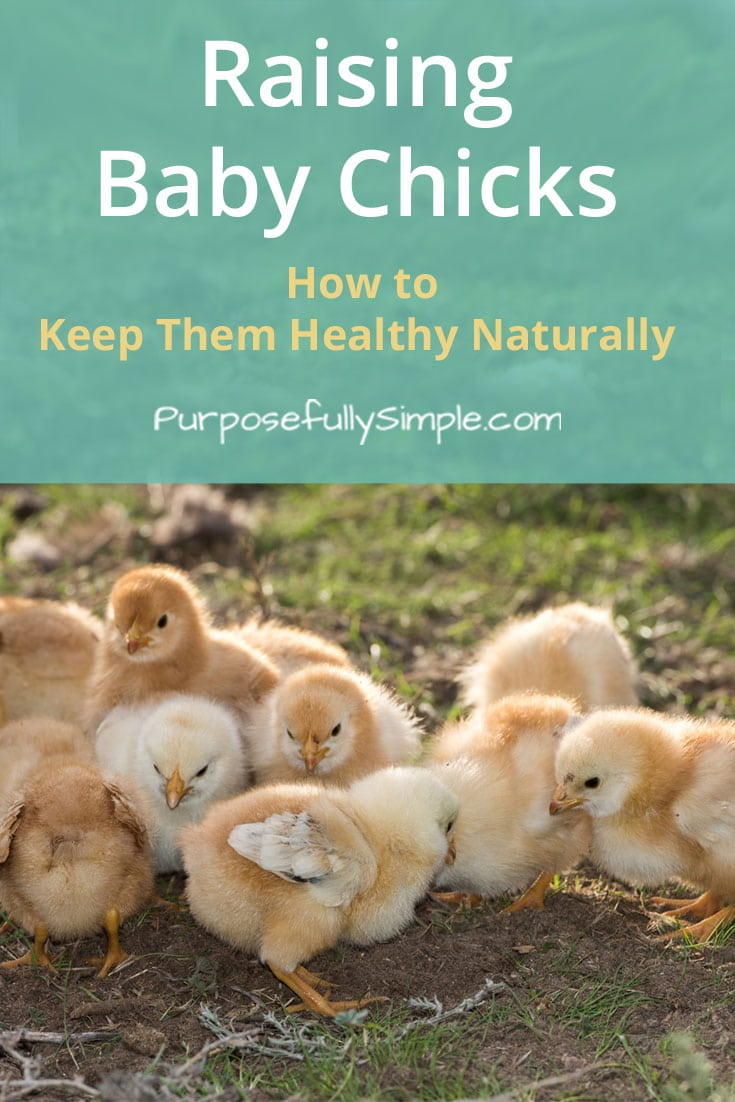 Interested in raising baby chicks for eggs but don't know where to start? Here is a comprehensive guide for raising chicks naturally. #chickens #homesteading