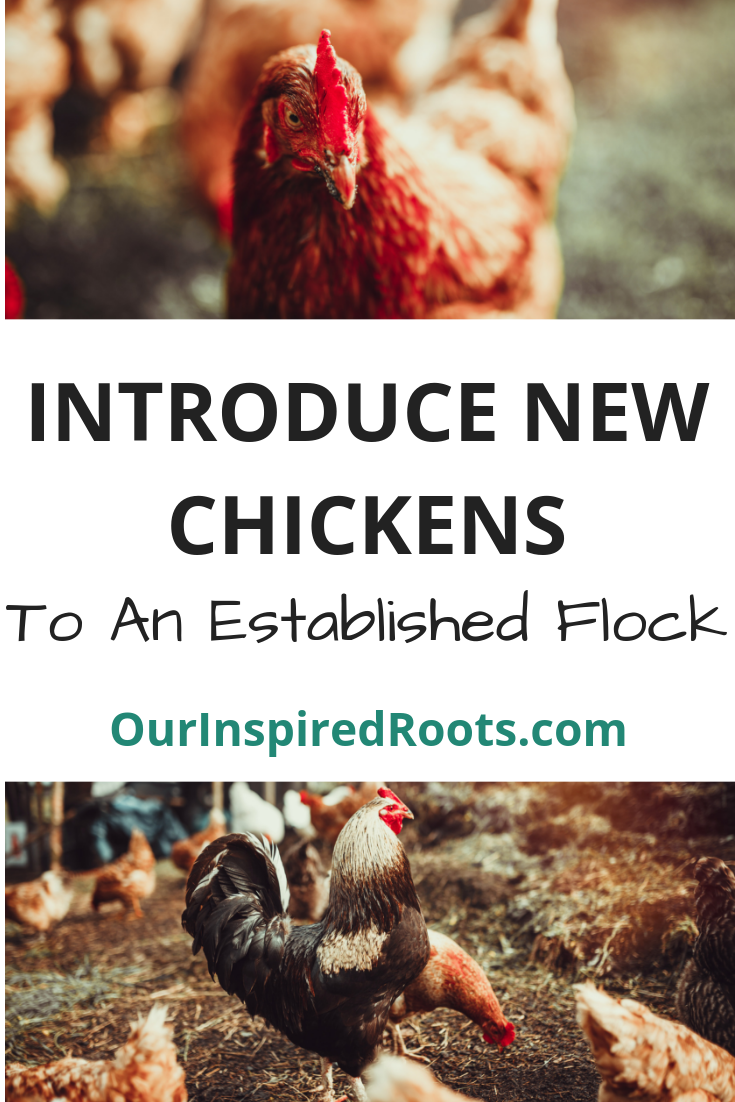 Introducing new chickens to your flock isn't as tough as it seems. Just follow these simple steps and enjoy your new, bigger flock of egg layers! #chickens