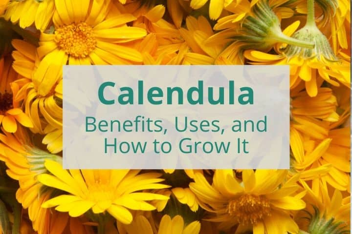 Calendula Benefits, Uses, and How to Grow It