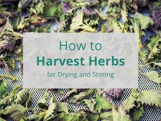 stinging nettle herb on a drying screen