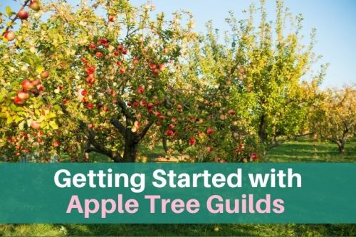 apple trees in a guild