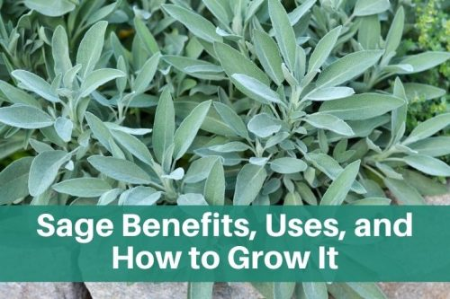 sage growing in the garden sage benefits