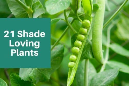 peas growing on vine