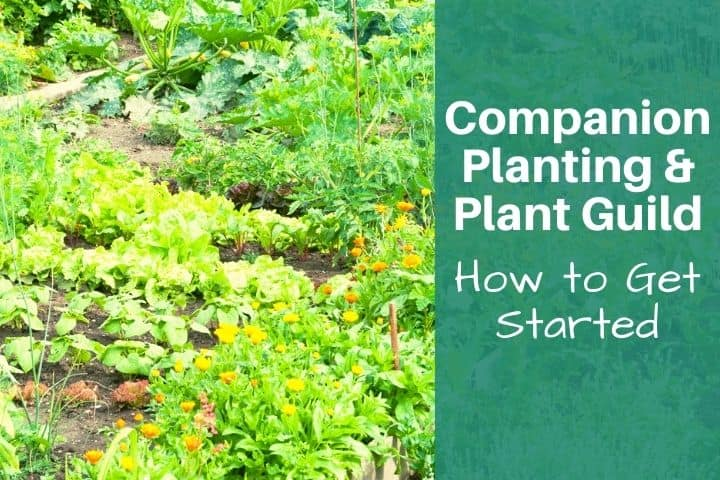 Companion Planting and Plant Guilds: How to Get Started