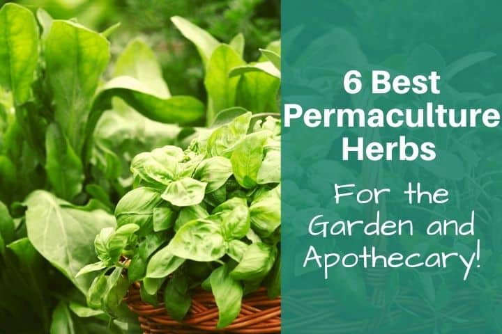 Best Herbs for a Permaculture Garden